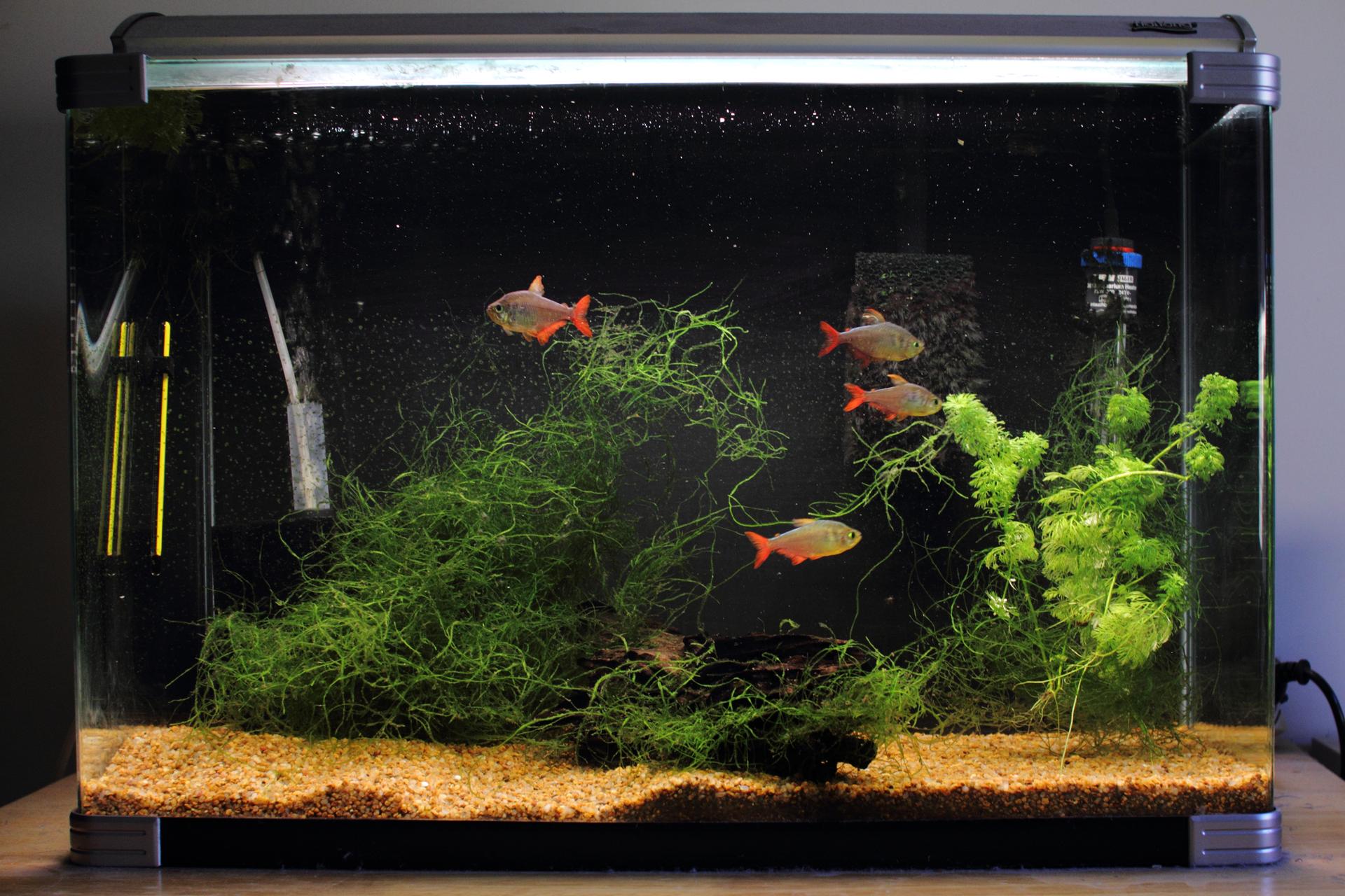 Fotografia przedstawia podświetlone akwarium. Zboku szare urządzenie napowietrzające. Na dnie piasek, kawałek kory, liczne splątane rośliny wodne. Między nimi pływają 4 rybki zczerwonymi płetwami iogonami. Akwarium to ekosystem sztuczny.