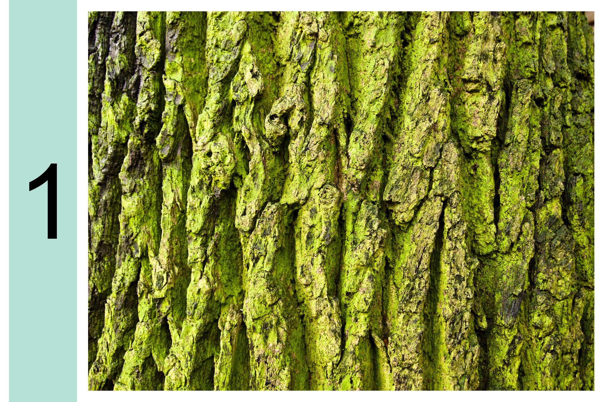 Fotografia przedstawia zbliżenie pnia drzewa. Zlewej cyfra 1. Na korze widoczny zielony nalot glonów. Oznacza to, że powietrze jest bardzo silnie zanieczyszczone.
