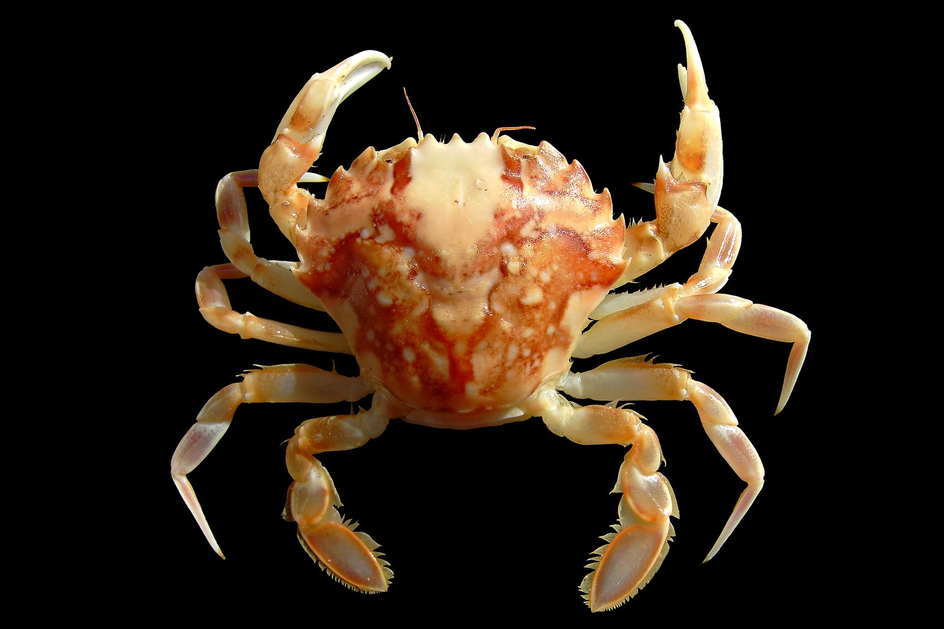 Zdjęcie przedstawiające kraba. Zwierzę ma ciało pokryte pancerzem. Posiada pięć par odnóży podzielone na człony połączone stawami.