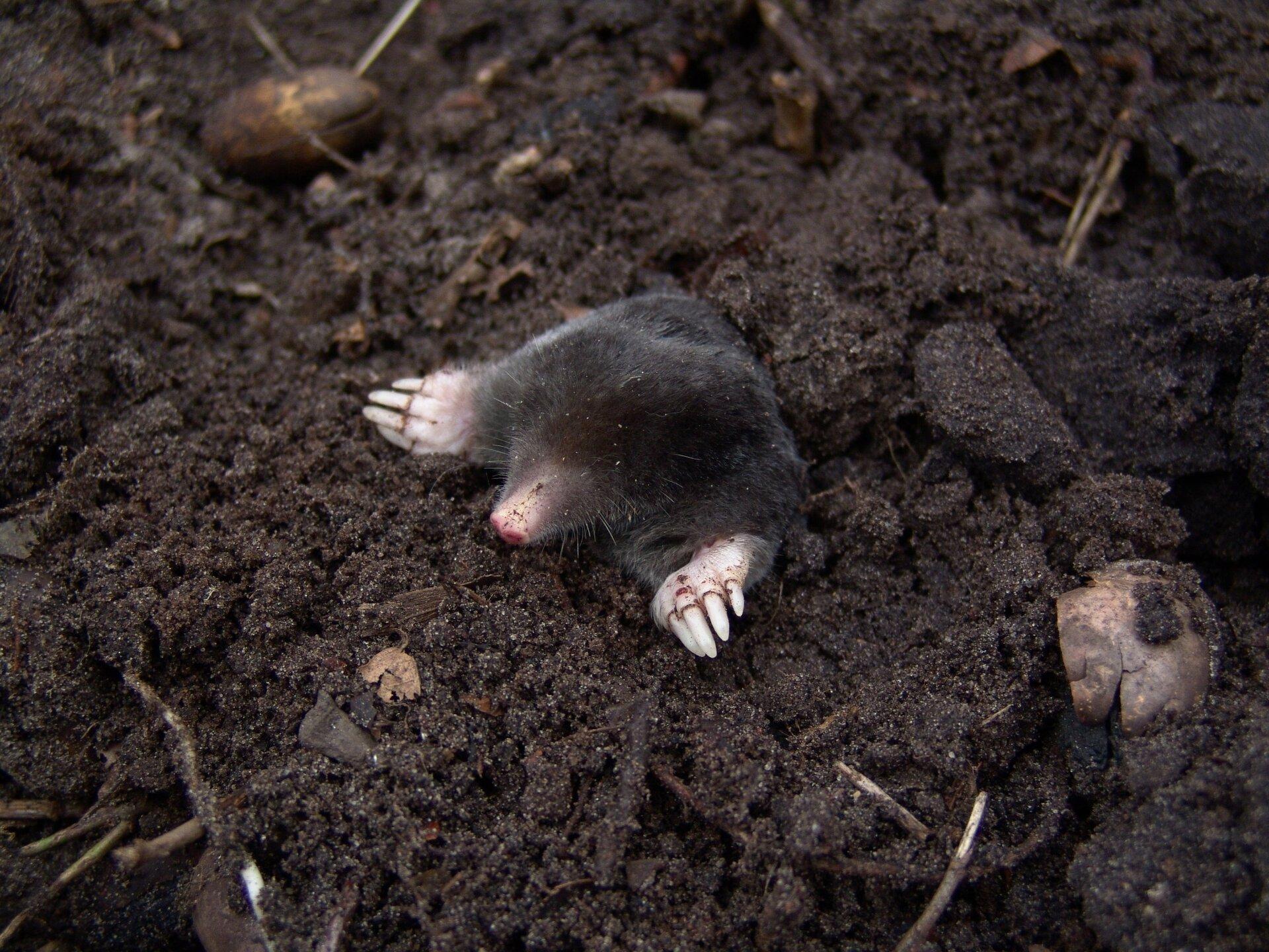 Fotografia przedstawia kreta wychodzącego zkopca ziemi. Ma krótkie, czarne futerko. Przednie łapy są szerokie, zaopatrzone wmocne pazury irozłożone na boki przy głowie. Pysk różowy, wydłużony, zwąsami. Oczu nie widać.