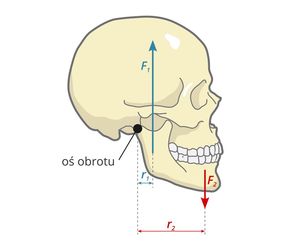 Ludzka żuchwa – przykład dźwigni jednostronnej