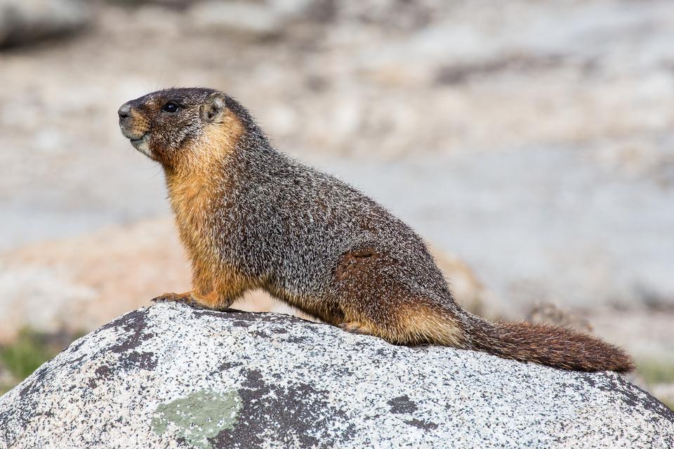 Fotografia prezentuje niewielkich rozmiarów gryzonia – świstaka stojącego na kamieniu.