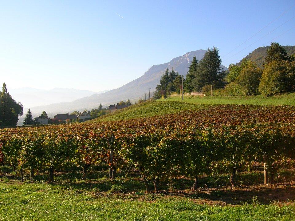 Na zdjęciu tereny rolnicze. Na pierwszym planie winnica. Wtle wysokie góry.
