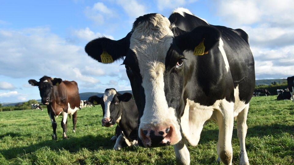 Ilustracja przedstawia krowy pasące się na łące.