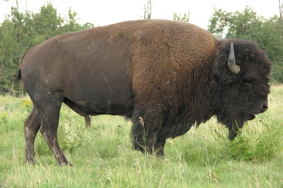 Fotografia przedstawia stojącego bokiem dużego ssaka kopytnego. Jest pokryty gestym, brązowym futrem. Wokolicy głowy po prawej futro jest bardzo ciemne ikędzierzawe. Na głowie sterczą krótkie, zagięte do góry rogi. To bizon, największy ssak prerii.