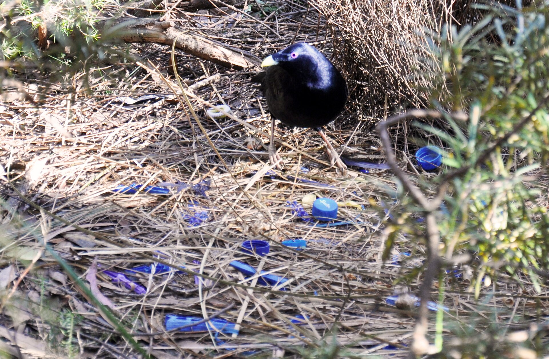 Altannik lśniący budujący gniazdo Źródło: Summ, licencja: CC BY-SA 3.0.