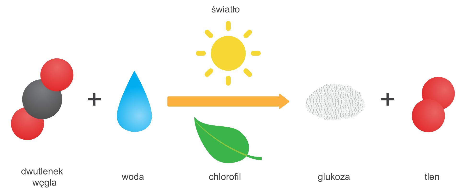 Ilustracja przedstawia rysunkowy schemat fotosyntezy wformie zapisu reakcji, wktórym symbole związków ipierwiastków zastąpiono kolorowymi piktogramami. Wynika zniej, że wwyniku syntezy dwutlenku węgla iwody przy udziale światła słonecznego, reprezentowanego przez piktogram słońca nad strzałką oznaczającą reakcję iwobecności chlorofilu symbolizowanego rysunkiem liścia pod strzałką, powstaje glukoza przedstawiona jako kopczyk białej sproszkowanej substancji itlen. Dwutlenek węgla oraz tlen przedstawione zostały wpostaci modeli cząsteczek, awoda jako niebieska kropla.