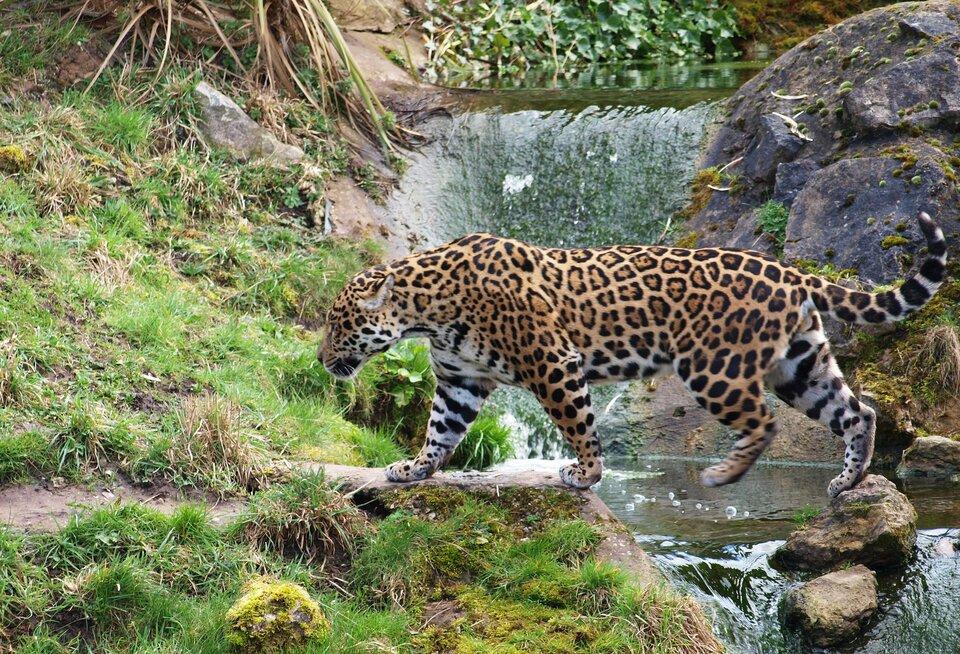 Fotografia przedstawia dużego, brązowego, cętkowanego jaguara, przechodzącego wlewo po kamieniach przez wartko płynący strumień. To jedyny amerykański przedstawiciel panter. Zprawej skały iwoda, zlewej mchy ikępy traw. Ugóry korzenie roślin.