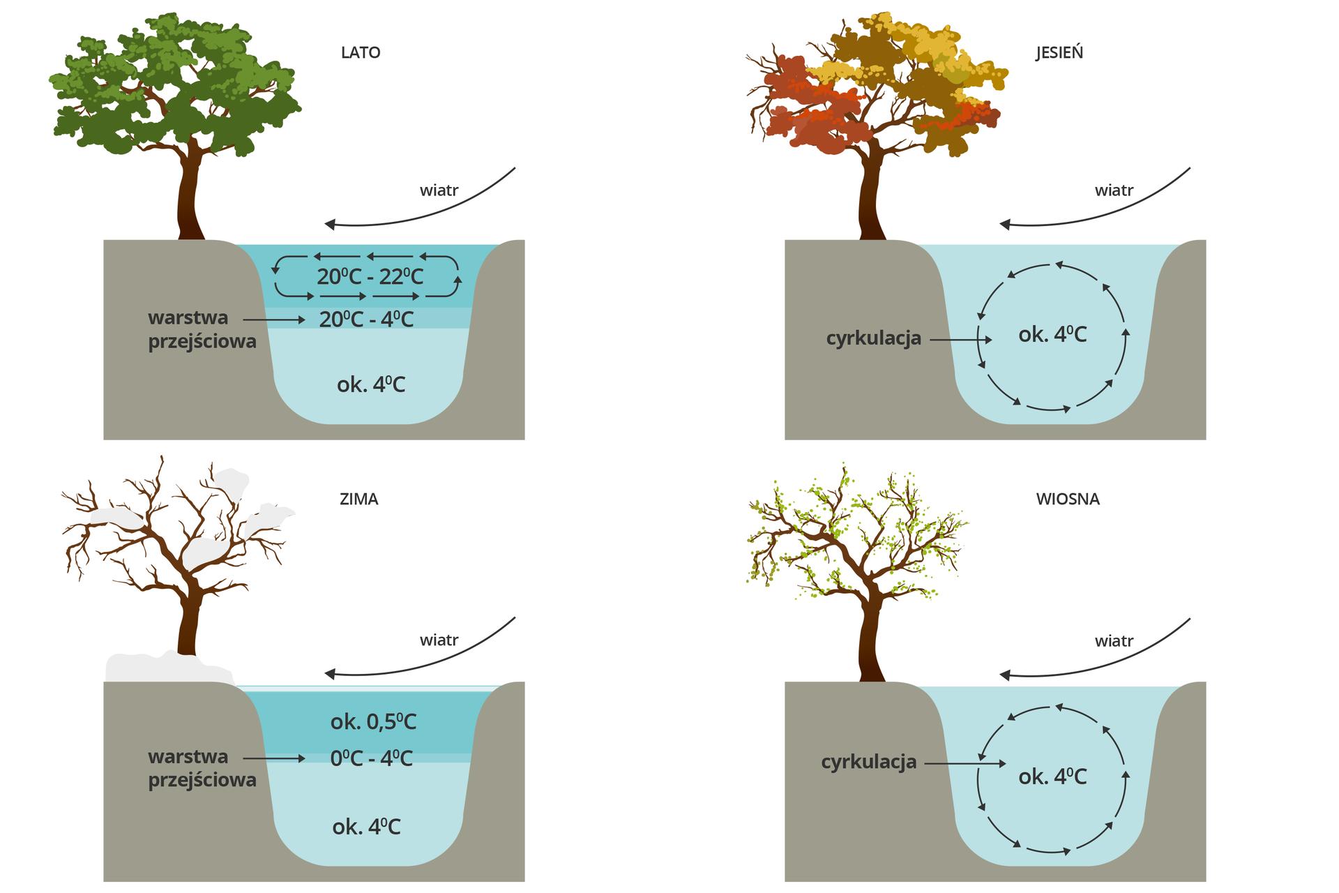 Cztery grafiki przedstawiające zmiany temperatury wody wjeziorze wzależności od pór roku. Każda grafika prezentuje przekrój przez zagłębienie jeziora, na brzegu którego znajduje się drzewo. Wlewym górnym rogu pokazano lato. Woda przy dnie ma około 4⁰C, wyżej znajduje się warstwa przejściowa otemp. od 20 do 4⁰C, przy powierzchni jest warstwa cyrkulacji wody oznaczona strzałkami od temp 20 do 22⁰C. Nad taflą wody znajduje się strzałka wskazująca kierunek wiatru zgóry wstronę lewą. Drzewo na brzegu jest okryte zielonymi liśćmi. Obok wprawym rogu pokazano jesień. Woda cyrkuluje wcałej objętości jeziora, utrzymując temp. około 4⁰C. Drzewo okryte jest kolorowymi liśćmi. Na dole od lewej pokazano zimę. Przy dnie temp 4⁰C, wyżej warstwa przejściowa otemp. 0 do 4⁰C, nad nią warstwa około 5⁰C. tafla jeziora pokryta lodem. Drzewo przy brzegu bez liści okryte śniegiem. Grafika obok to wiosna. Woda cyrkuluje wcałej objętości jeziora, utrzymując temp. około 4⁰C. Drzewo na brzegu okryte jest rozwijającymi się liśćmi.