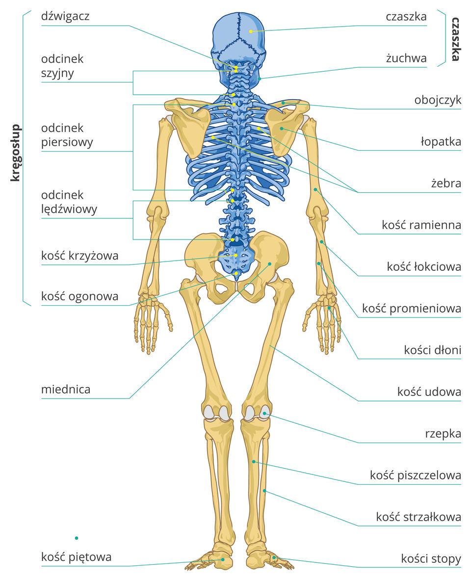 Ilustracja przedstawia szkielet człowieka od tyłu, kolorem niebieskim zaznaczono szkielet osiowy. Podpisy tak jak na widoku szkieletu zprzodu. Wczaszce podpisano dodatkowo żuchwę, wkręgosłupie pierwszy krąg dźwigacz, wkościach stopy kość piętową.