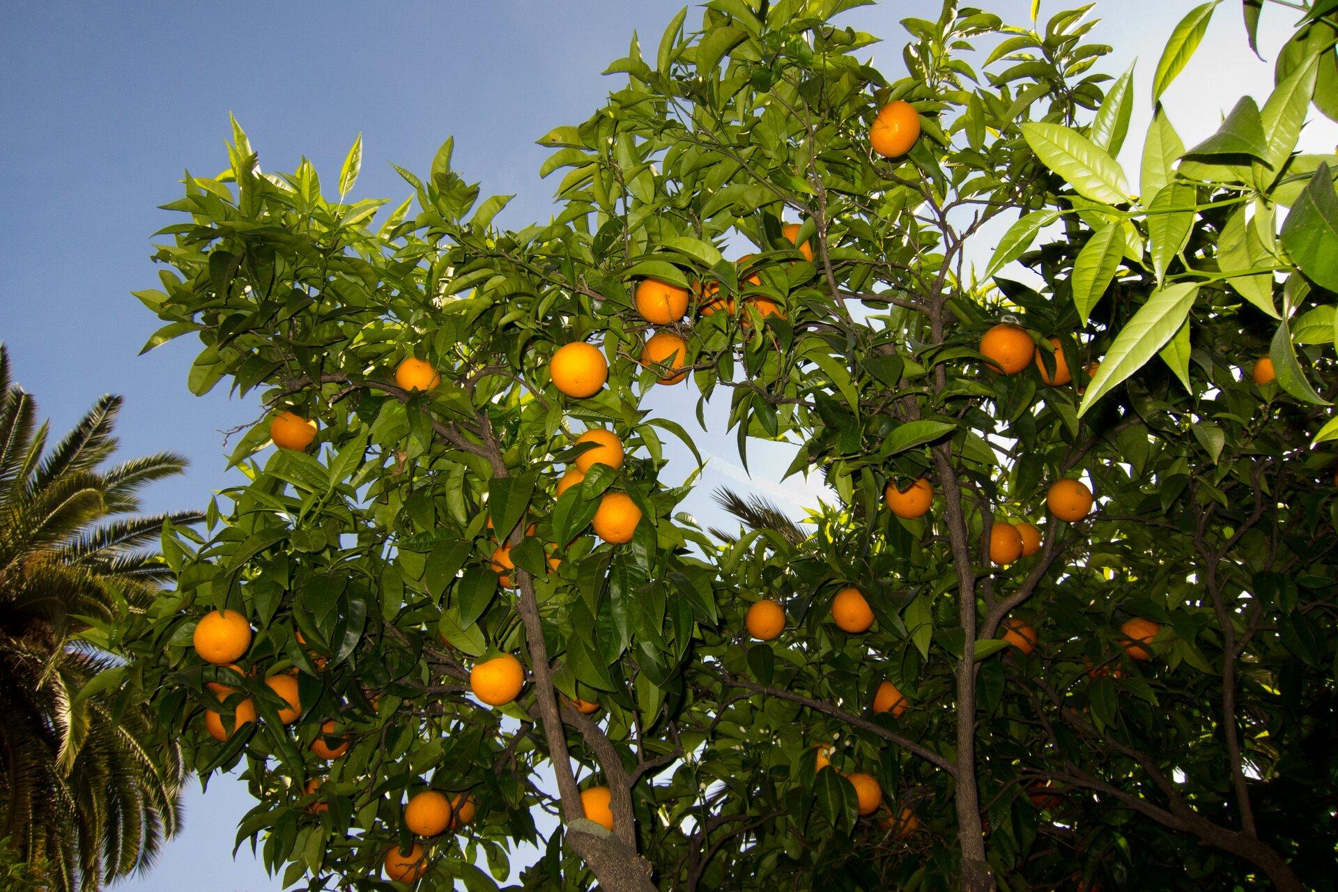 Fotografia prezentuje drzewa pomarańczy widoczne od dołu. Drzewa są drobne, mają cienki pień oraz mnóstwo okrągłych pomarańczy.