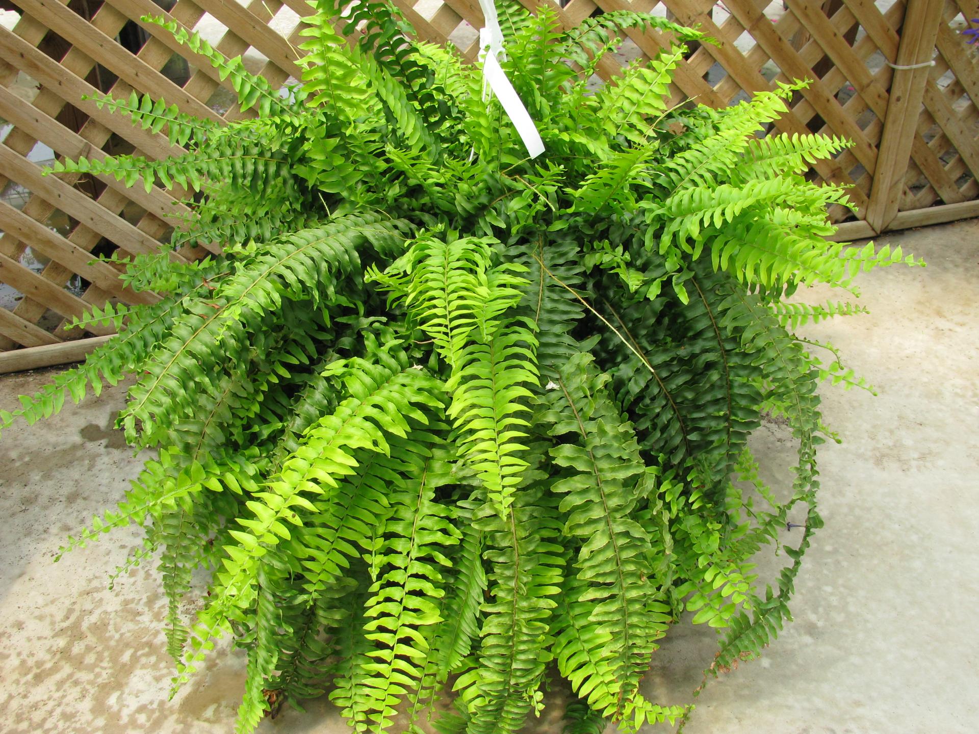 Fotografia prezentuje paproć zpióropuszowatymi zielonymi liśćmi.