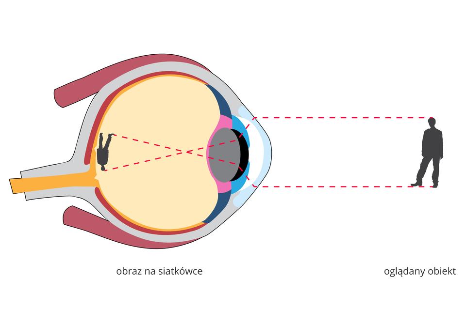 Ilustracja przedstawia, wjaki sposób powstaje obraz obiektu na siatkówce oka. Oko zwrócone wprawo, wprzekroju pionowym. Oglądanym obiektem jest sylwetka mężczyzny zprawej. Promienie świetlne zaznaczone wpostaci czarnych linii. Promienie zróżnych punktów obiektu trafiają przez otwór źrenicy na soczewkę. Dzięki jej krzywiźnie zostają załamane itrafiają na siatkówkę, gdzie powstaje obraz odwrócony ipomniejszony.