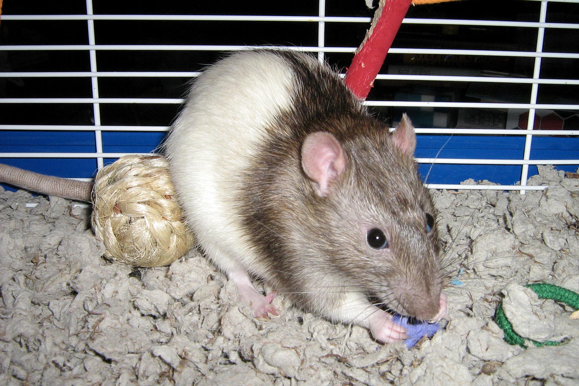 Slajd 4 – prezentuje szczura wklatce bawiącego się zabawką.