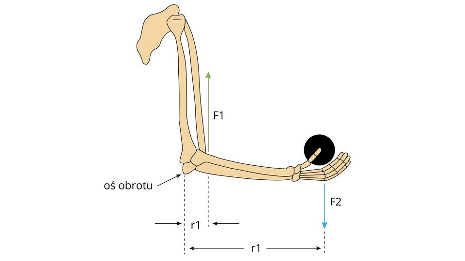 Ludzkie ramię – przykład dźwigni jednostronnej