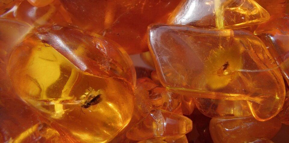Fotografia prezentuje kilka kawałków modowo-żółtego bursztynu zzachowanym wśrodku ciałem owada.