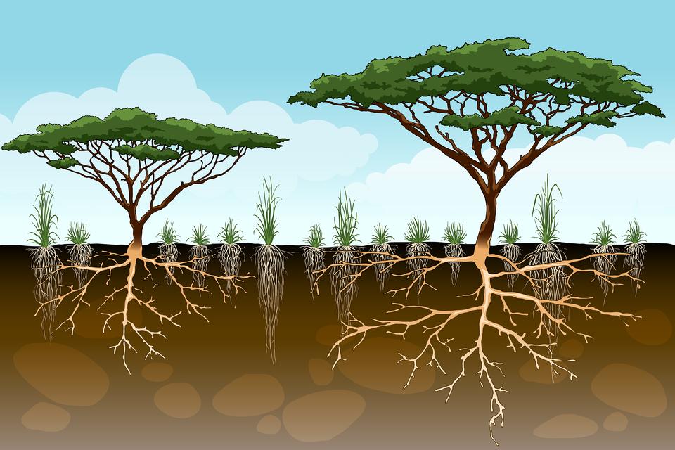 Ilustracja prezdstawia profil sawanny: pokrój nadziemnych ipodziemnych częśći roślin sawanny.