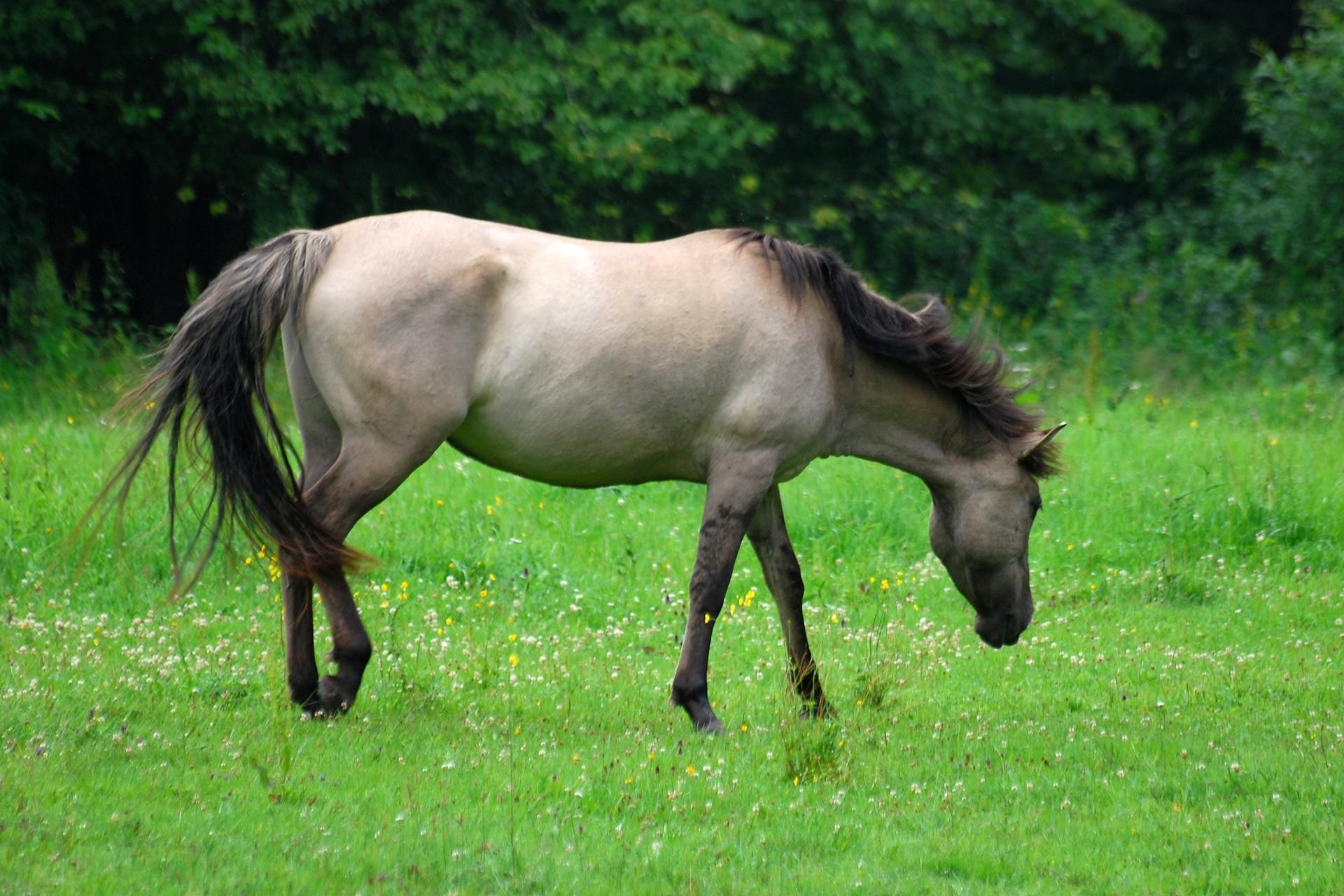Fotografia przedstawia biegnącego wprawo konia tarpana. Jest jasnobrązowy zczarną grzywą iogonem. Pysk wąski, ciemniejszy przy nosie. Oczy są duże. Lewa przednia uniesiona, zciemną pęciną iczarnym kopytem. Pozostałe zanurzone wwysokiej, pożółkłej trawie. Wtle ciemny las.