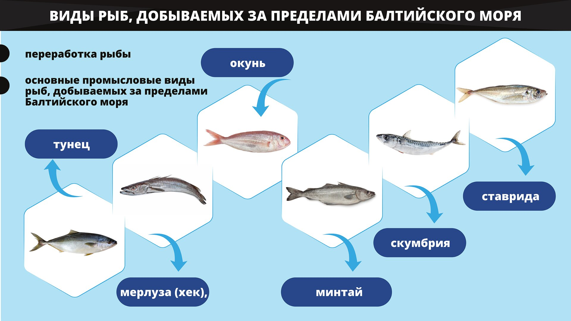 На изображении представлены основные промысловые виды рыб, добываемых за пределами Балтийского моря, используемые в переработке рыбы. Grafika przedstawia podstawowe gatunki ryb poławianych poza Morzem Bałtyckim wykorzystywane wprzetwórstwie rybnym.