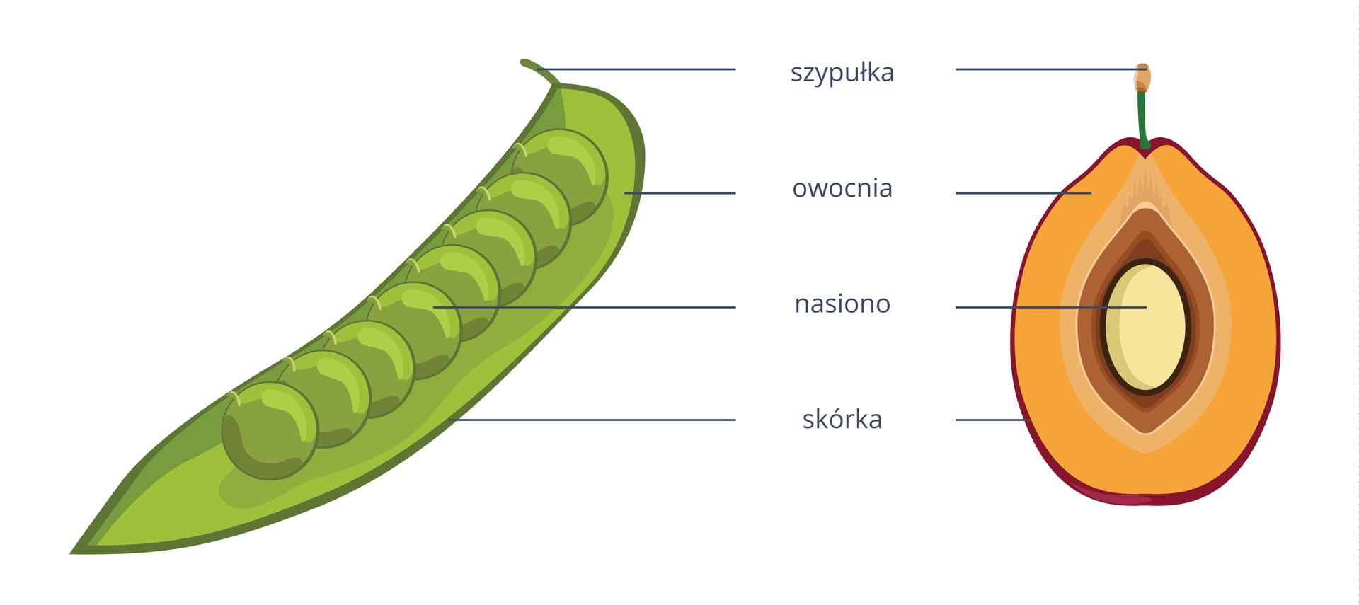 Ilustracja przedstawia dwa owoce: zielony strąk iżółto brązową śliwkę. Odpowiadające sobie części połączono ipodpisano.