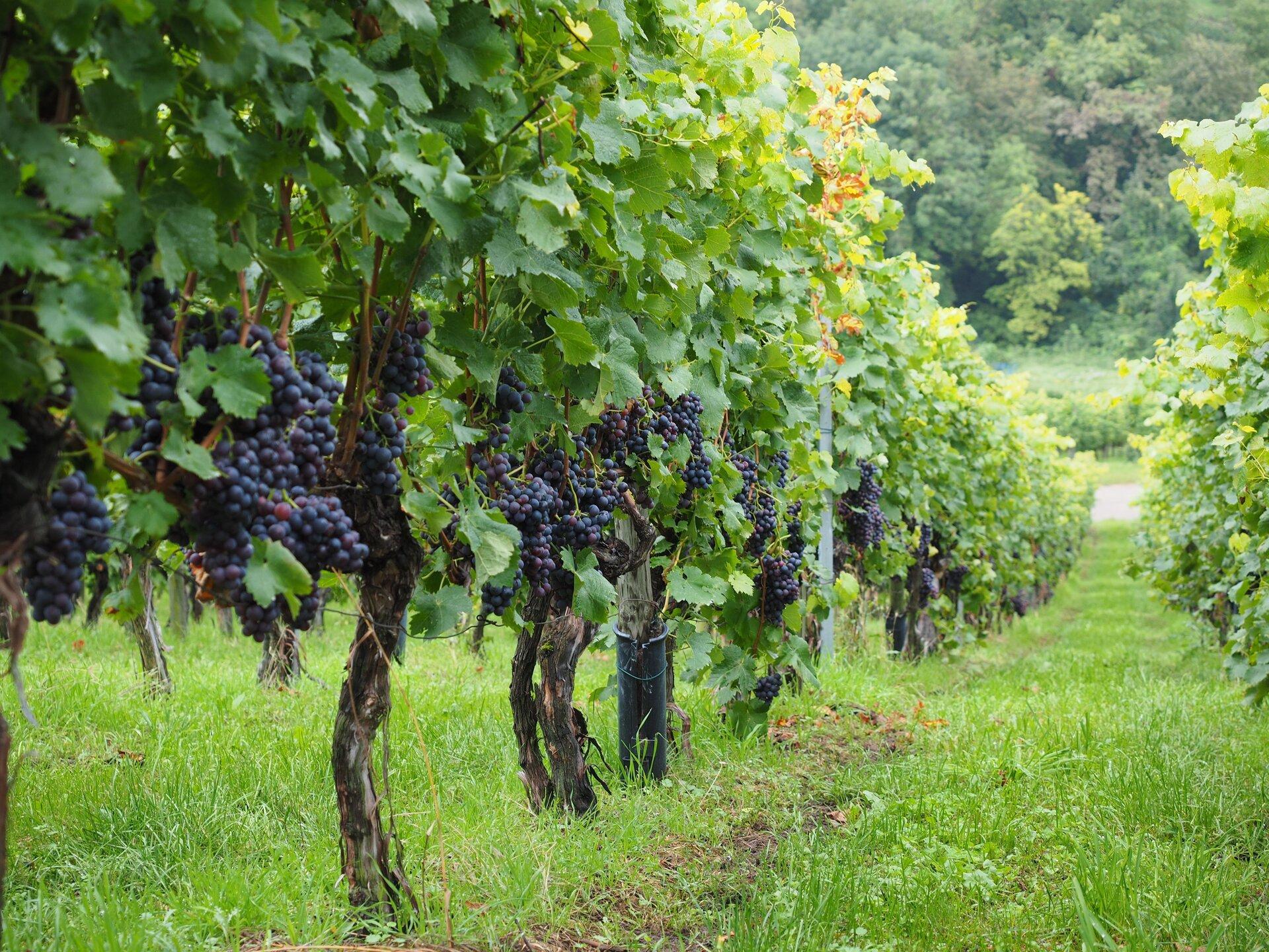 Fotografia prezentuje winnice zdojrzałymi winogronami. Na pierwszym planie widoczny rząd winorośli zktórych zwisają dojrzałe, granatowe kiście winogron.
