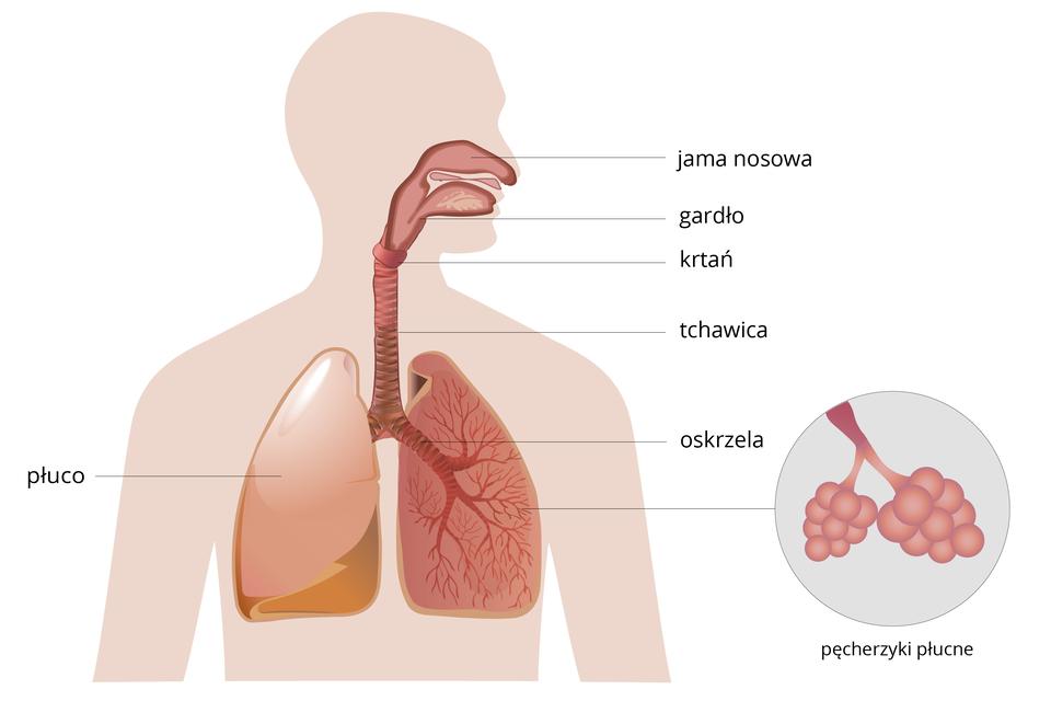 Schemat, przedstawiający budowę układu oddechowego człowieka zopisem narzadów: jama nosowa, gardło, krtań, tchawica, oskrzela oraz płuco. Wprawej dolnej części schematu przybliżenie pęcherzyków płucnych