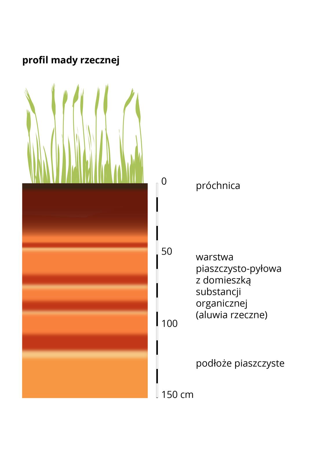 Prostokątny pas – przekrój profilu glebowego mady rzecznej, wktórym kolorami wodcieniach brązu ibeżu przedstawiono poszczególne warstwy gleby. Układ warstw powtarza się wielokrotnie, co świadczy owielokrotnym wylewaniu rzeki inanoszeniu kolejnej warstwy osadów rzecznych. Dolną warstwę stanowi skała macierzysta – piaski, awierzchnią warstwę stanowi próchnica. Zprawej strony umieszczono podziałkę iopisano wysokość wcentymetrach.