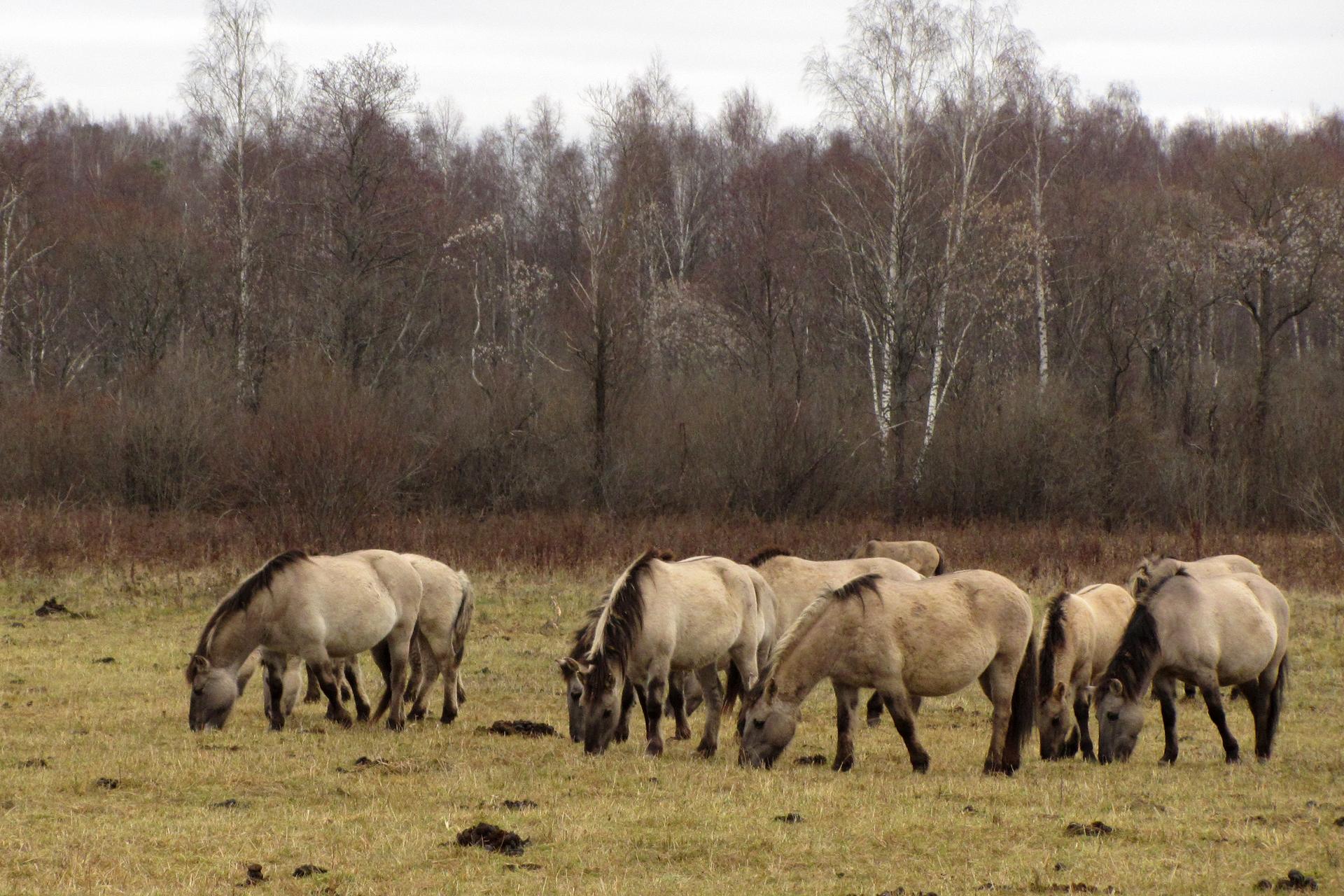 Fotografia przedstawia stado niskich koni, pasących się na łące pod lasem. Są beżowe, zczarną grzywą, ogonem inogami. To koniki polskie wRoztoczańskim Parku Narodowym.