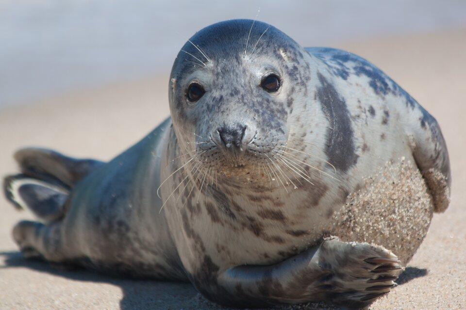 Fotografia przedstawia portret zprzodu foki szarej, leżącej na piasku. Na przedniej łapie pazury, tylne skrócone ipłetwowate.