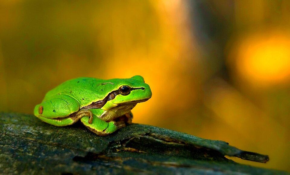 Fotografia przedstawia na żółtym tle zieloną rzekotkę, siedzącą na ciemnym kawałku drewna. Płaz siedzi bokiem, głowa wprawo. Przednie kończyny podwinięte pod spód, tylna zgięta, palami zaczepiona na przedniej. Skóra lekko nierówna, bez brodawek. Od nozdrzy przez oko, ucho aż do jasnego brzucha biegnie brązowa plama ozmiennej szerokości.