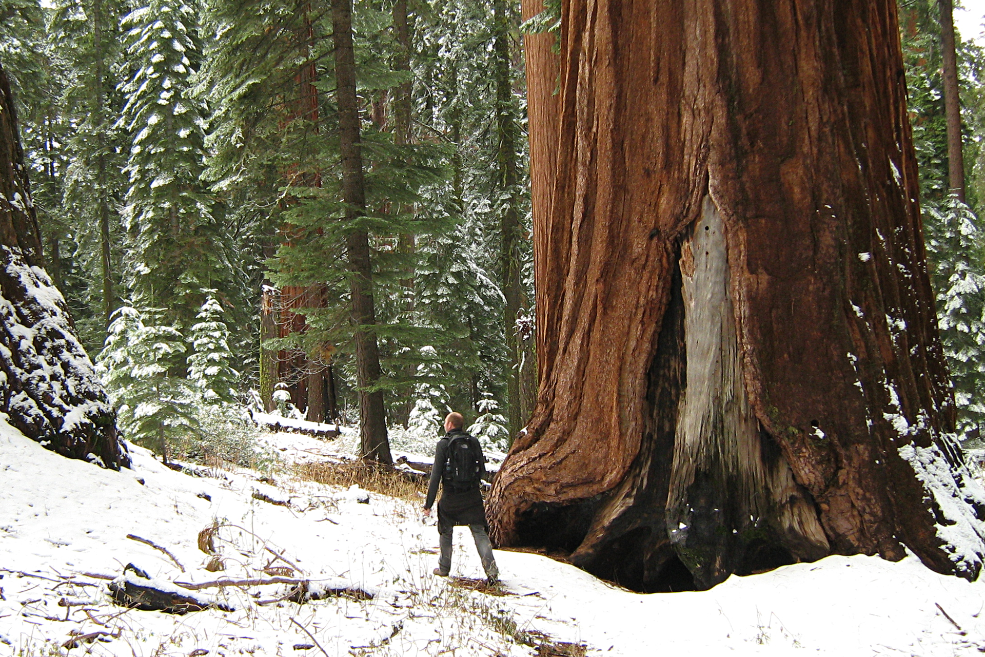 Fotografia przedstawia człowieka przy pniu wielkiego, grubego drzewa opomarańczowej korze wzimowym krajobrazie. To drzewo to mamutowiec olbrzymi wgórach Sierra Nevada.