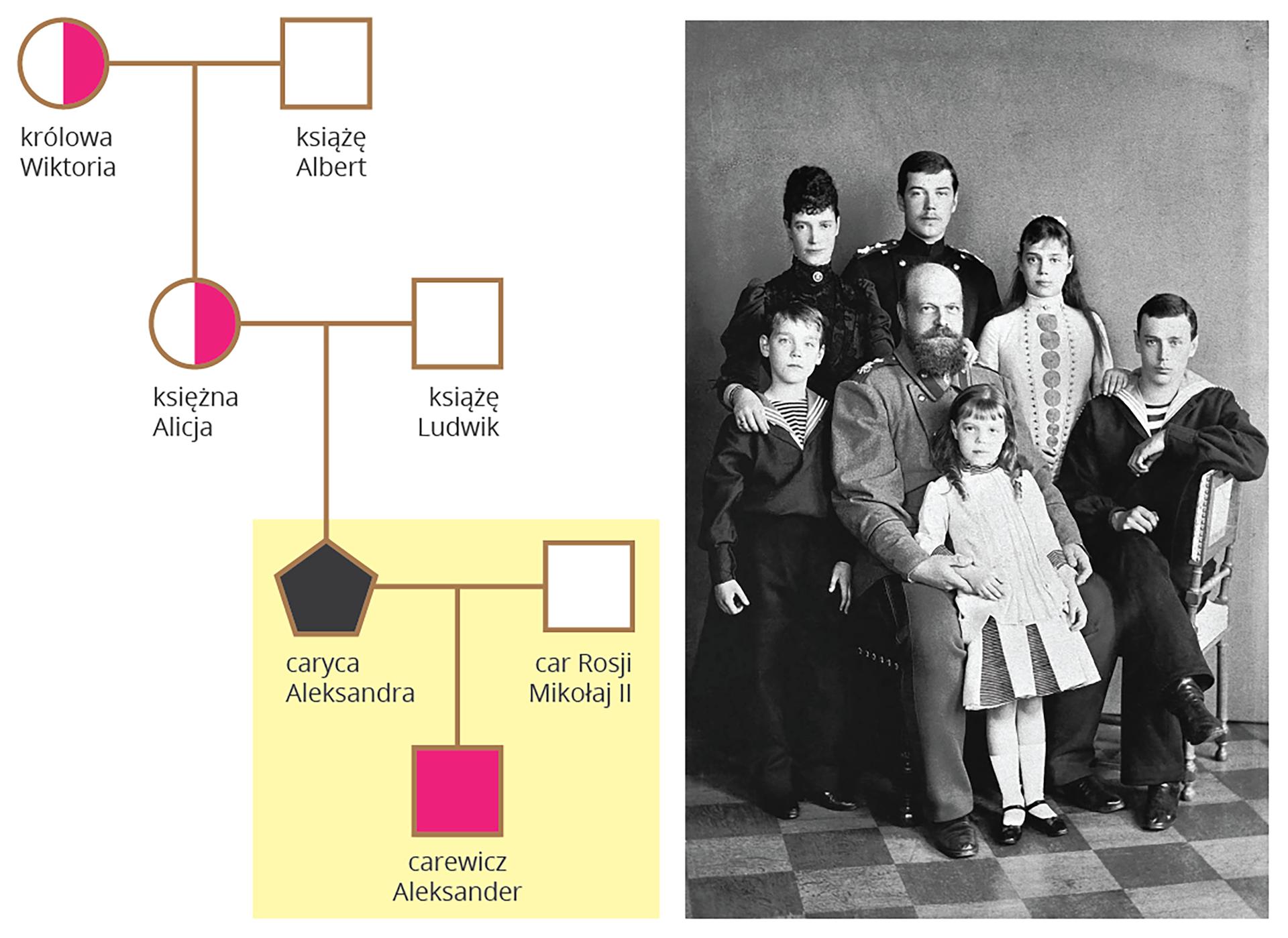 Ilustracja przestawia drzewo rodowe potomków brytyjskiej parykrólewskiej Wiktorii (nosicielki) iAlberta. Mieli dziewięcioro dzieci. Dwie ich córki były nosicielkami, ajeden zsynów chorował na hemofilię. Dzieci zawierały małżeństwa. Za pomocą pomarańczowych kulek zaznaczono kobiety zdrowe, aza pomocą żółtych kobiety nosicielki allelu hemofilii. Kwadraty zielone oznaczają zdrowych mężczyzn, aróżowe chorych na hemofilię. Analizie poddano trzy pokolenia potomne. Na dole podpisy: obecnie panująca brytyjska rodzina królewska wolna od hemofilii. Niemiecka rodzina królewska dwóch chorych władców. Rosyjska rodzina królewska jedna nosicielka ijeden chory. Boczna gałąź brytyjskiej rodziny królewskiej jedna nosicielka, dwóch chorych. Hiszpańska rodzina królewska dwie nosicielki iczterech chorych. Nie analizowanych dalszych potomków przedstawiono wformie szarych pięciokątów zcyfrą.