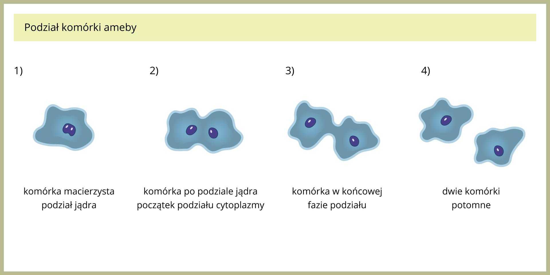 Ilustracja przedstawia niebieskie komórki zciemnymi jądrami komórkowymi. Ukazano je wtrakcie rozmnażania przez podział wczterech fazach. Wpierwszej od lewej jądro komórkowe zaczyna się rozrastać. Wdrugiej są już dwa jądra, akomórka wydłuża się izwęża. Trzeci rysunek przedstawia komórkę zdwoma jądrami komórkowymi, mocno zwężoną wśrodku. Na końcu ukazano dwie komórki.