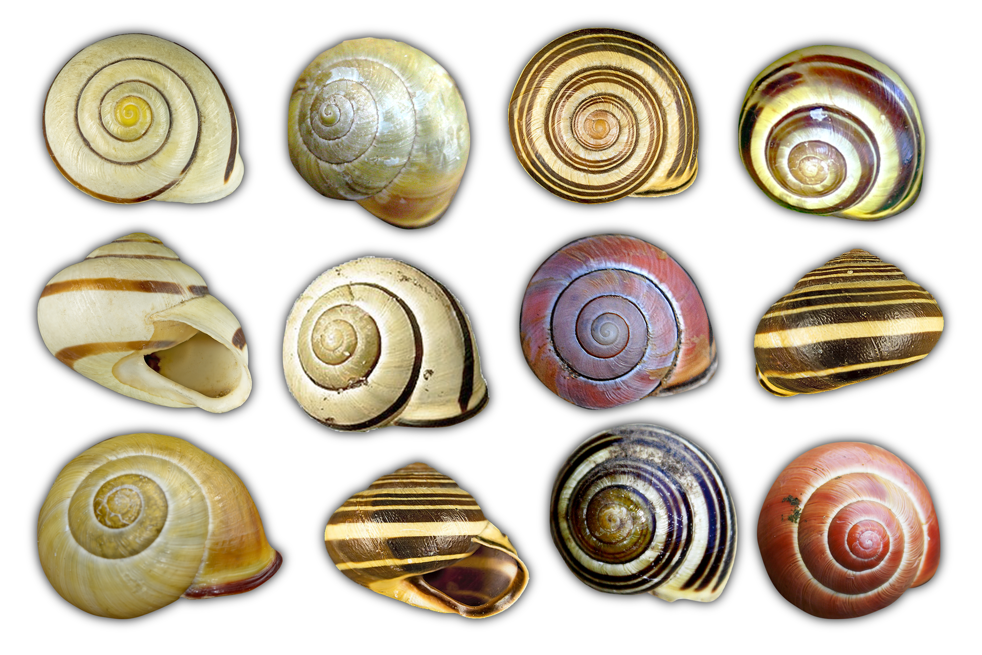 Fotografia przedstawiająca zróżnicowanie ubarwienia ideseni muszli ślimaka gajowego.
