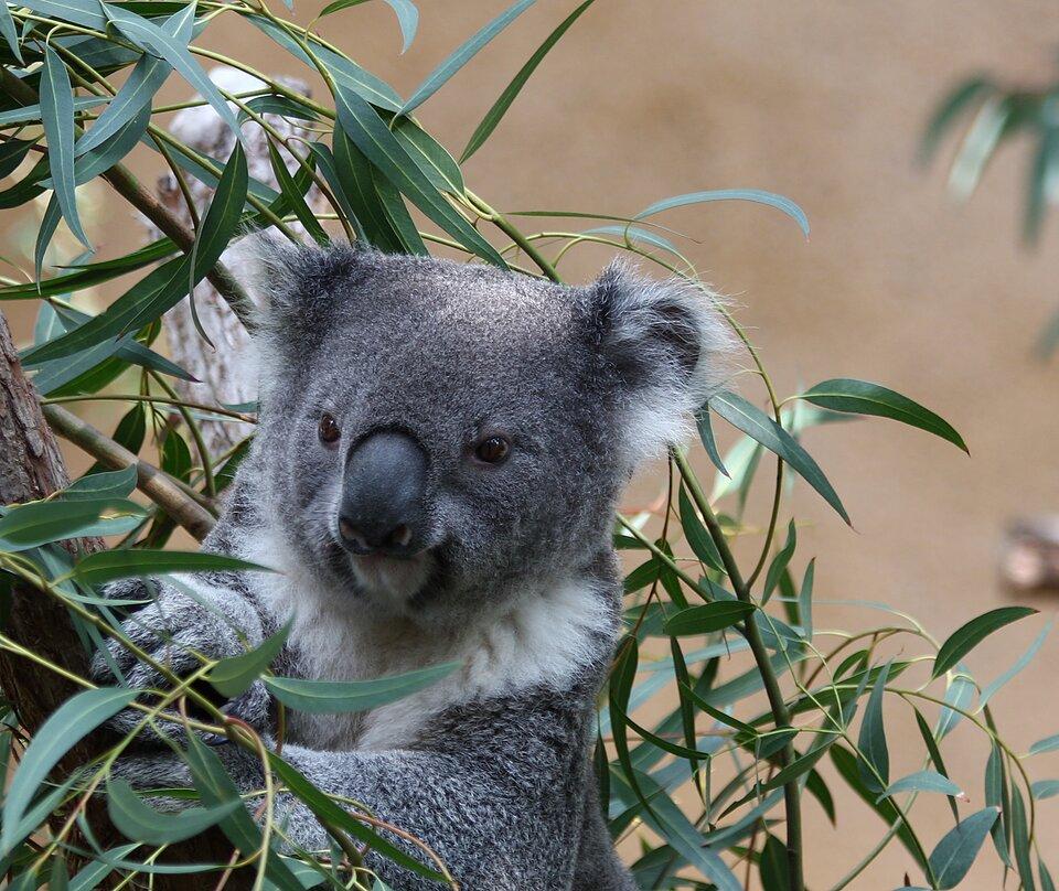 Na zdjęciu koala wśród liści eukaliptusa.