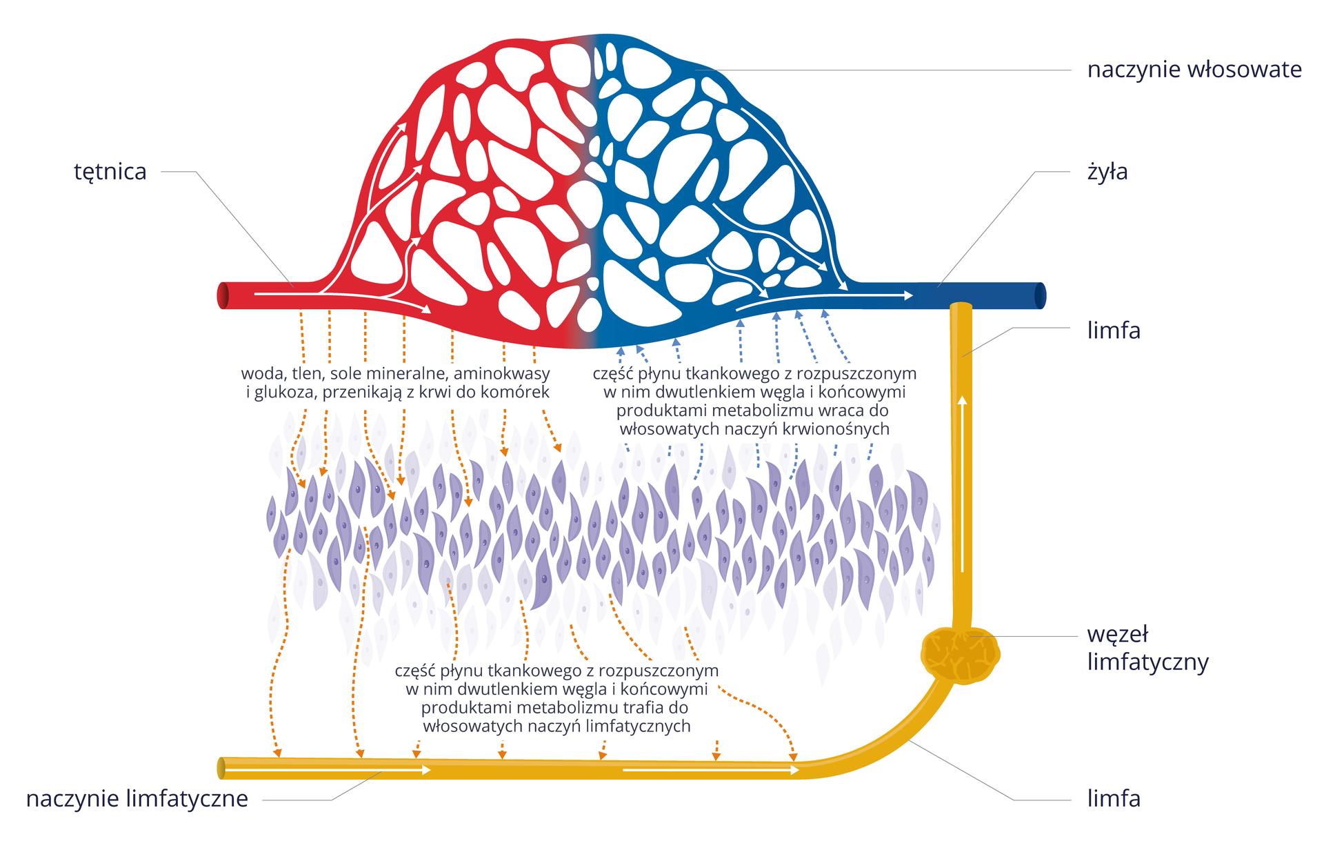 Ilustracja przedstawia schematycznie, jak powstaje limfa. Niebieskie są żyły, czerwone tętnice, żółte naczynia limfatyczne. Białe strzałki wskazują kierunek przepływu. Ugóry siatka naczyń krwionośnych włosowatych. Od tętnic czerwone przerywane strzałki oznaczają przepływ wody, tlenu, soli mineralnych, aminokwasów iglukozy do tkanek. Tkanka przedstawiona wformie zbioru wrzecionowatych, fioletowych komórek. Niebieskie przerywane strzałki wgórę oznaczają powrót do żył płynu tkankowego zrozpuszczonym dwutlenkiem węgla iproduktami metabolizmu. Od tkanki wdół pomarańczowe przerywane strzałki oznaczają odprowadzanie płynu tkankowego do naczynia limfatycznego. Wnaczyniu płynie limfa. Zgrubienie oznacza węzeł limfatyczny. Naczynie limfatyczne ugóry łączy się zżyłą.