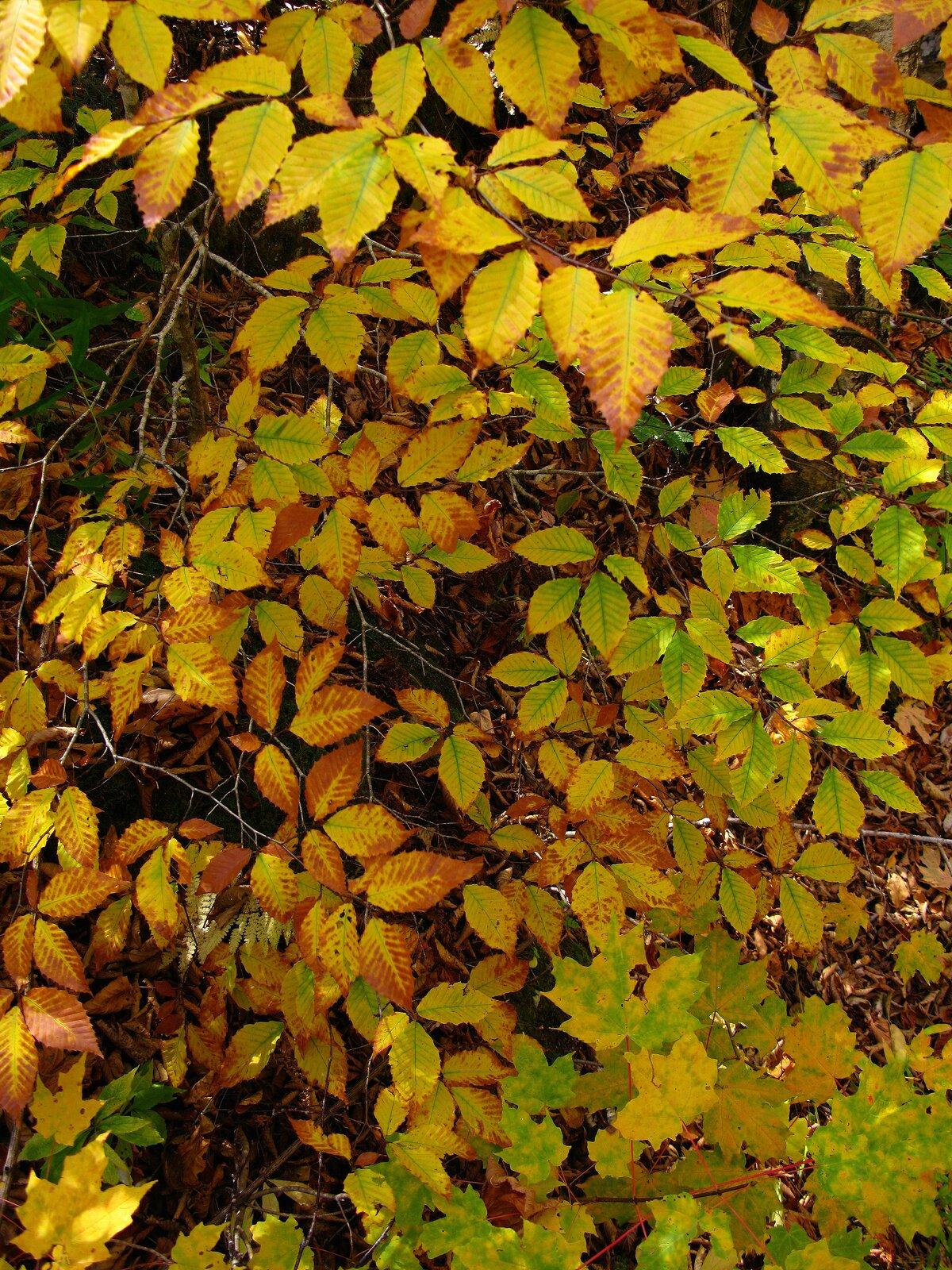 Fotografia przedstawia pożółkłe liście drzewa.