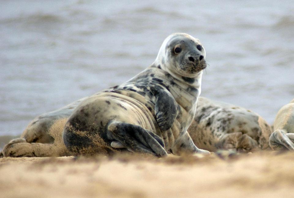 Fotografia prezentuje fokę szarą na tle morza.