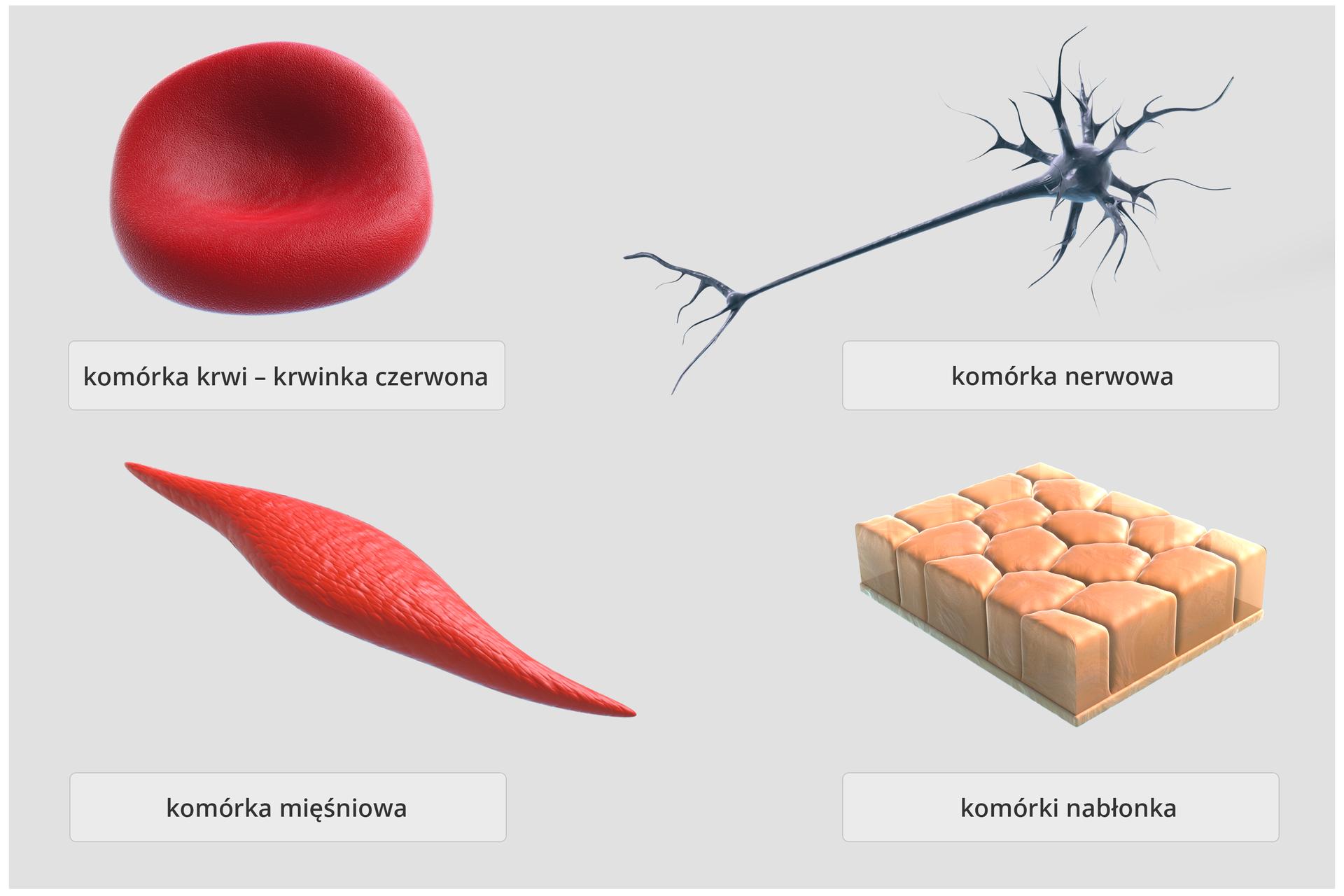 Różnorodność komórek – schemat przedstawia cztery przykładowe rodzaje komórek budujących organizmy zwierzęce. Wlewym, górnym rogu, komórka wkształcie wklęsłego dysku – krwinka czerwona, obok wydłużona komórka zwypustkami , to komórka nerwowa. Wlewym dolnym rogu, wydłużona komórka zzaostrzonymi końcami – komórka mięśniowa. Obok, kilka przylegających do siebie komórek wkształcie niskich sześcianów, to komórki nabłonka.