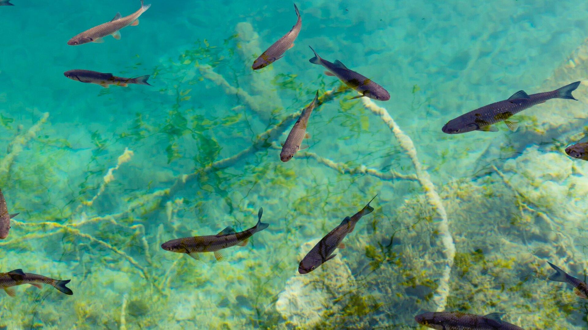 Ilustracja przedstawia ryby pływające wwodzie. Woda jest przejrzysta, widoczna jest wniej roślinność.