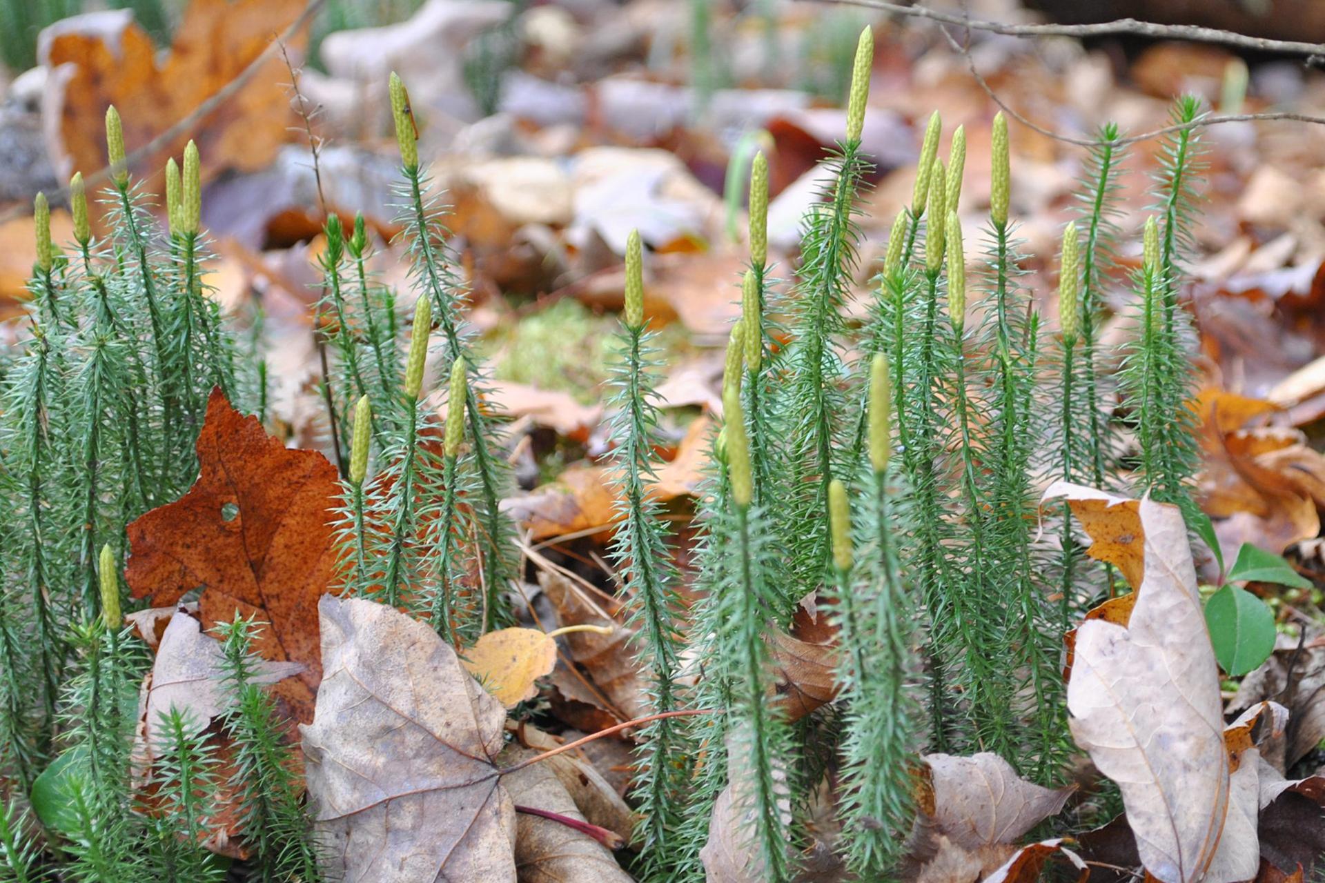 Fotografia przedstawia runo leśne, pokryte suchymi liśćmi. Spomiędzy nich wystają wzniesione nierozgałęzione pędy widłaka jałowcowatego/ Ich liście odstają od łodygi. Pęd zakończony kłosem wytwarzajacym zarodniki.