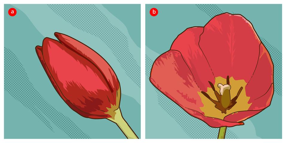 Ilustracja AiB. Aprzedstawia stulony kwiat tulipana, B- kwiat otwarty.