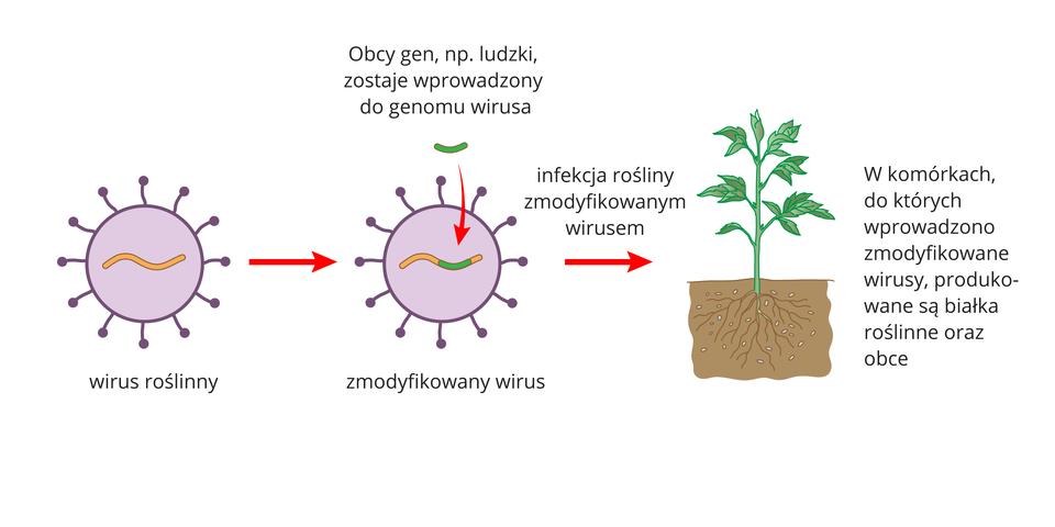 Ilustracja przestawia dwie fioletowe kuliste struktury zwypustkami, oznaczające wirusy. Po prawej ukazano roślinę zkorzeniami wglebie. Wpierwszym wirusie znajduje się pomarańczowa linia, oznaczająca jego DNA. Wdrugim wirusie pomarańczowa linia ma zieloną wstawkę, czyli obcy gen. Czerwona strzałka wskazuje wprowadzenie zmodyfikowanego wirusa do rośliny. Zaczyna ona produkować obce białka.