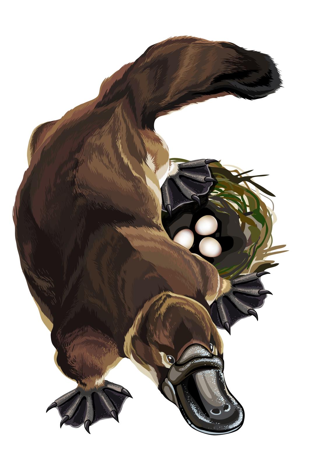 Ilustracja przedstawia brązowego dziobaka zgóry. Zwierzę ma głowę udołu, zszerokim, czarnym dziobem. Zaraz za nim małe szare oczy. Po bokach łapy zpalcami, spiętymi czarna błoną pławną. Ugóry gruby, wygięty wprawo ogon. Po prawej oliwkowe gniazdo ztrzema białymi jajami.
