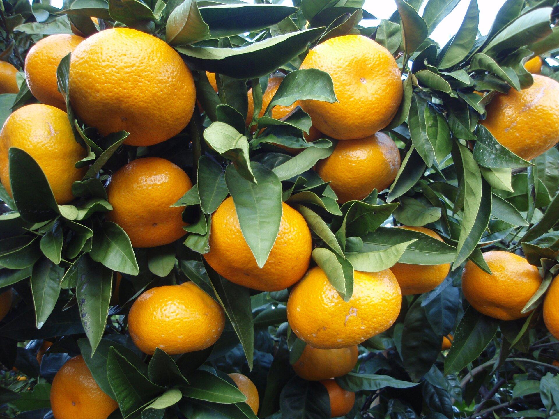 Na zdjęciu mandarynki na drzewie.