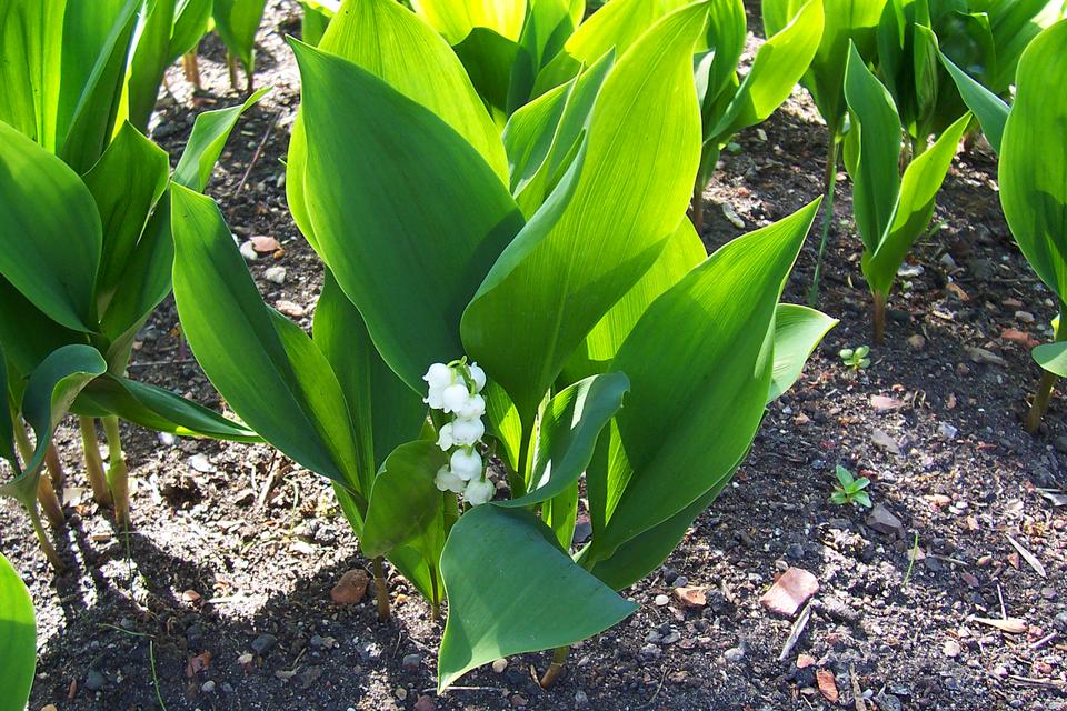 Fotografia prezentuje grono zbiałymi kwiatami konwalii majowej oraz jej zielone lancetowate liście.