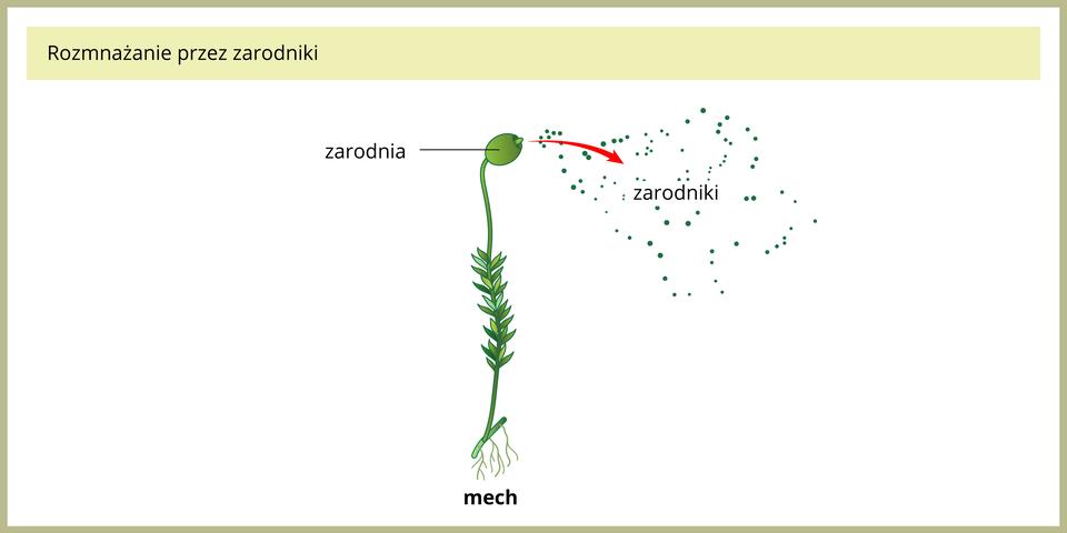 Ilustracja przedstawia pojedynczą, zieloną roślinę mchu. Na szczycie łodyżki znajduje się zgrubienie, czyli zarodnia. Czerwona strzałka wskazuje wysypujące się zniej liczne, malutkie zarodniki.