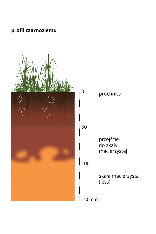 Prostokątny pas – przekrój profilu glebowego czarnoziemu, wktórym kolorami wodcieniach brązu ibeżu przedstawiono poszczególne warstwy gleby. Dolną warstwę stanowi skała macierzysta – lessy, awierzchnią warstwę stanowi próchnica. Zprawej strony umieszczono podziałkę iopisano wysokość wcentymetrach.
