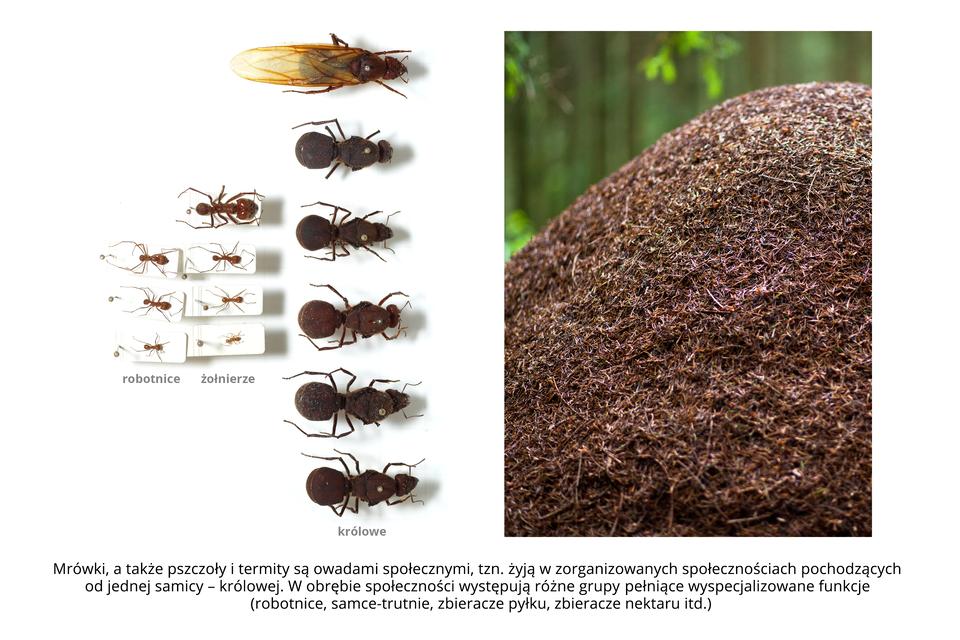 Wgalerii znajdują się pary fotografii, przedstawiające różne owady iich larwy. Fotografia zlewej przedstawia trzy rzędy spreparowanych mrówek. Pierwsza kolumna to trzy okazy małych czerwonawych robotnic zgłowami wlewo. Wśrodkowej kolumnie znajdują się cztery okazy mrówek – żołnierzy, największy ugóry. Kolumna trzecia to sześć grubych, prawie czarnych królowych zgłowami wprawo. Pierwsza zgóry ma błoniaste, pomarańczowe, złożone wtył skrzydła. Fotografia zprawej przedstawia wzbliżeniu rudobrązowy kopiec na tle lasu. To mrowisko, usypane zigieł idrobnych gałązek.