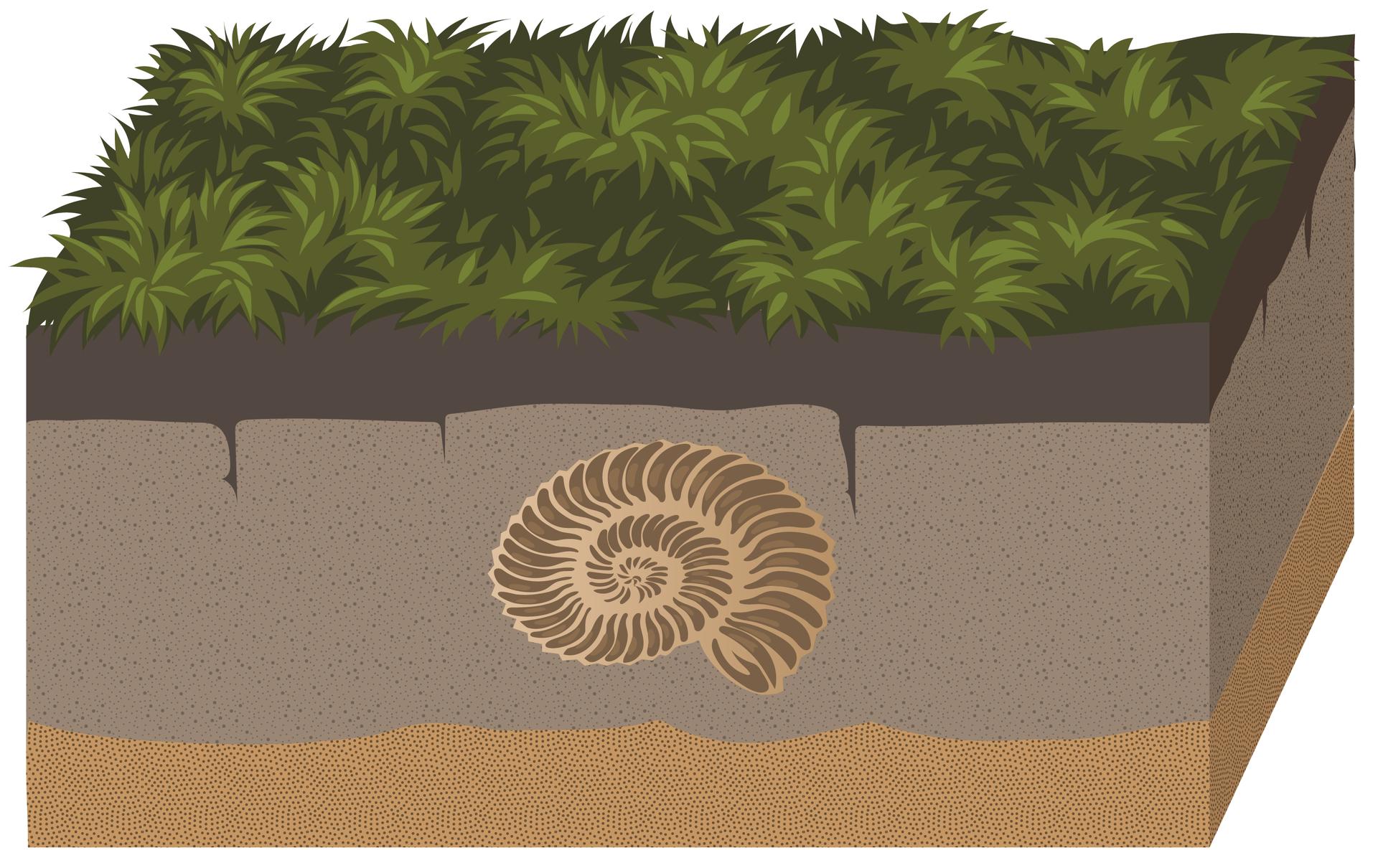 Rysunek przedstawia zarośnięty zbiornik. Przez miliony lat morze znikło. Ugóry jest roślinność, agłęboko pod ziemią muszla amonita stała się częścią skały osadowej.